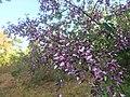 Machaerium amplum - Fabaceae - arbusto escandente espinescente 02.jpg