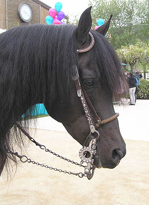 Bosal - A pencil bosal worn under the bridle on a finished horse
