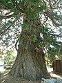 Magnac lav sequoia2.JPG