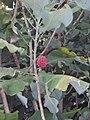 Magnolia macrophylla Michx. (AM AK298968-2).jpg