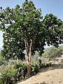 Magnolia pterocarpa tree.jpg