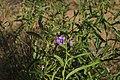 Magnoliophyta sp. (32541401401).jpg