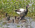 Magpie Goose (Anseranas semipalmata) - Flickr - Lip Kee (4).jpg
