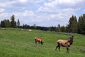Elks in Yellowstone NP