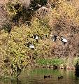 Mallard ducks in flight.jpg
