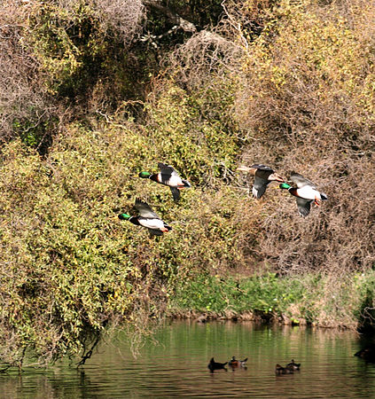 Mallard ducks in flight.jpg