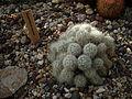 Mammillaria baumii 01.jpg
