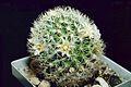 Mammillaria picta ssp viereckii pm.jpg