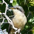 Mangrove Cuckoo . Coccyzus minor - Flickr - gailhampshire.jpg