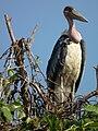 Marabou Stork Leptoptilos crumeniferus in Tanzania 4744 cropped Nevit.jpg