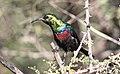 Marico sunbird, Cinnyris mariquensis, at Zaagkuildrift Road near Kgomo Kgomo, Limpopo, South Africa. Male (32813468673).jpg