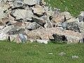 Marmota-1.jpg