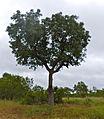 Marula Tree (Sclerocarya birrea) (12907280003).jpg