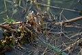 Mating dragonflies (2887456228).jpg