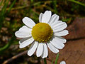 Matricaria recutita FlowerCloseup 2010-4-11 DehesaBoyalPuertollano.jpg