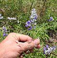 Mealy Cup Sage (Salvia farinacea).jpg