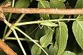 Meconema thalassinum (36506040575).jpg