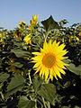 MediaWiki flower.jpg