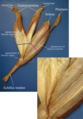Medial view of a cadaver dissection of the gastrocnemius–soleus junction - with text.png