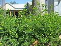 Medicago lupulina plant4 (10589293324).jpg