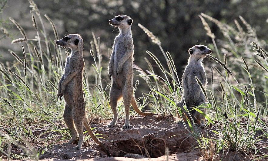 Meerkat (or suricate), Suricata suricatta, at Kgalagadi Transfro (35199207071).jpg