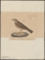 Megalophonus ruficeps - 1835 - Print - Iconographia Zoologica - Special Collections University of Amsterdam - UBA01 IZ16100389.tif
