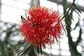 Melaleuca-fulgens-flower-head.jpg