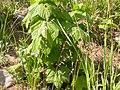 Melica spectabilis (3811052493).jpg