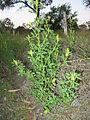 Melilotus indicus plant6 (10606480943).jpg