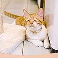 Melon, the orange cat, Taipei; July 2016 (12).jpg