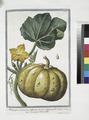Melopepo, verruscosus, albicans, leviter striatus, folio aspero - Cocuzza bitorzoluta (NYPL b14444147-1124995).tiff