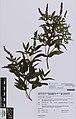 Mentha spicata spicata L. (AM AK360671).jpg