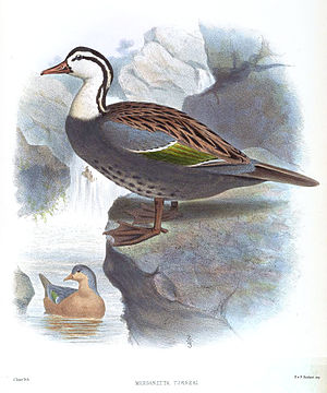 Torrent duck - Image: Merganetta Turneri Smit
