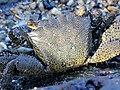 Metopograpsus thukuhar-dorsal.jpg