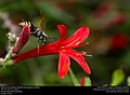 Mexican Honey Wasp (Vespidae, Brachygastra mellifica) (29993702093).jpg
