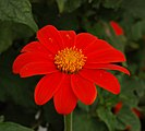 Mexican Sunflower Tithonia rotundifolia Flower 2163px.jpg