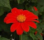 Mexican Sunflower Tithonia rotundifolia Flower 2163px.jpg