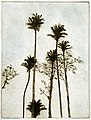 "Michael E. Arth ""Strangler figs and palms"" etching 1975.jpg"