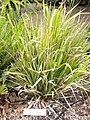 Microlaena avenacea - University of California Botanical Garden - DSC08899.JPG