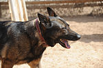 Military Working Dogs training in Baghdad, Iraq DVIDS173831.jpg