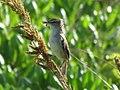 Millerbird male with spider.jpg