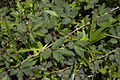 Mimosa pudica-costapppr.jpg