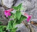 Mimulus lewisii (purple monkey-flower) (7992079509).jpg