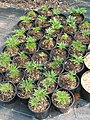 Molopospermum peloponnesiacum (13900482873).jpg