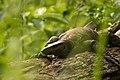 Monitor Lizard-2.jpg