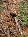 Montagnea arenaria (DC.) Zeller 305108.jpg