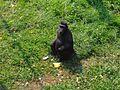 Moor Macaque, Thrigby, 2006-07-28 (1).JPG