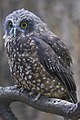Hình ảnh của Ninox novaeseelandiae từ Công viên chim Kiwi, Queenstown
