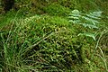 Moss and ferns in Miterdale Forest - geograph.org.uk - 514306.jpg