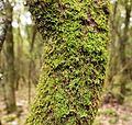 Moss on tree Santoña.jpg